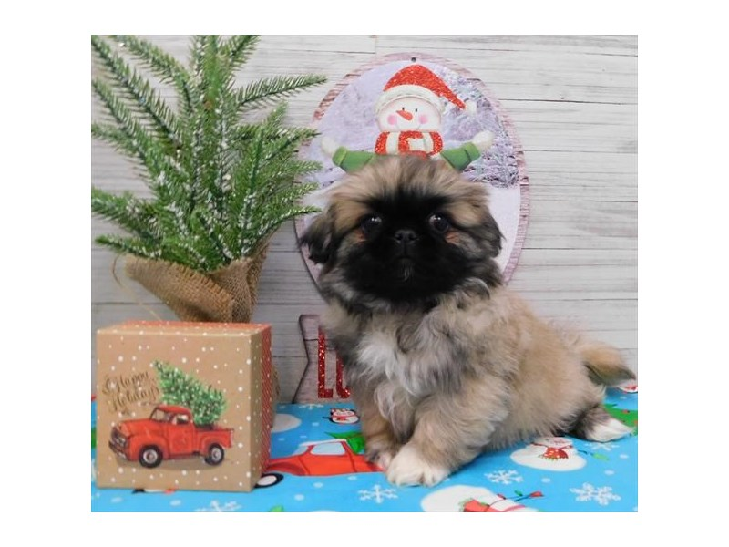 Pekingese-Male-Sable-2582093-Petland Hoffman Estates