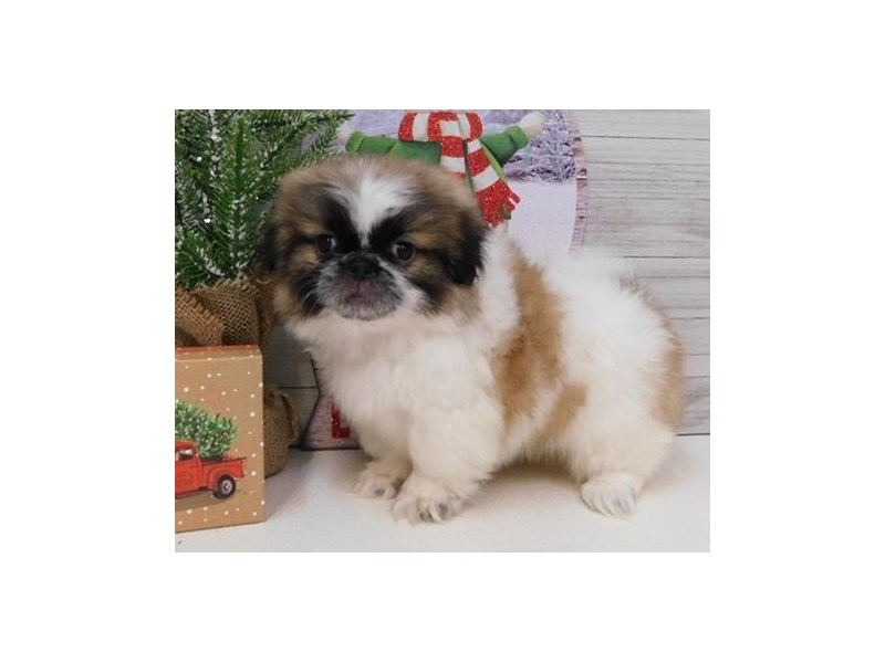 Pekingese-Male-Gold / White-2581997-Petland Hoffman Estates