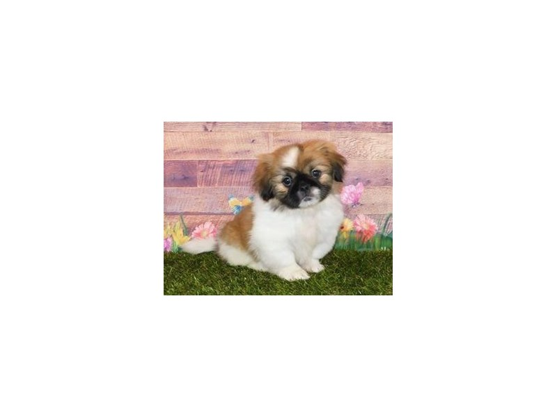 Pekingese-Female-Sable / White-2720873-Petland Hoffman Estates